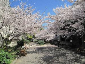 桜 東横堀川