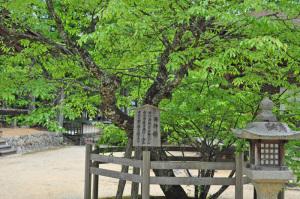 高野山西行桜