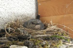 イソヒヨドリ抱卵