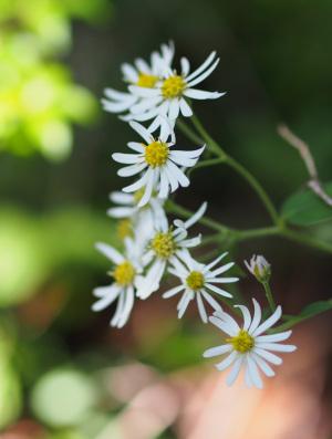 観音峰の花