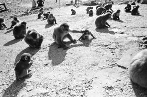 椿温泉の猿
