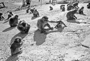 椿温泉猿軍団