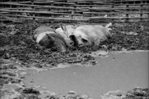 1977年色川豚舎
